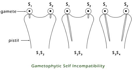 Gametophytic-Self-Incompatibility