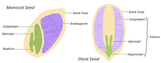 monocot-seed-and-dicot-seed