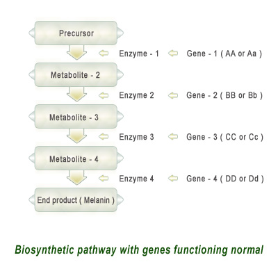 Biosynthetic-pathway-with-genes-functioning-normal